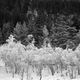 czarny las biały zimowy obrazy stock