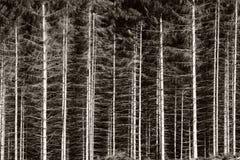 czarny las white Obraz Royalty Free
