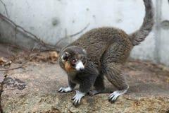 czarny lemur Zdjęcia Royalty Free