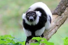 czarny lemur ruffed biel obrazy stock