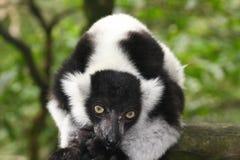 czarny lemur ruffed biel obrazy royalty free