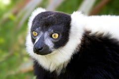 czarny lemur ruffed biel Zdjęcia Stock