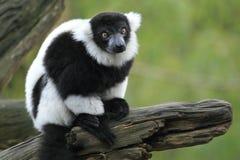 czarny lemur ruffed biel Zdjęcia Royalty Free
