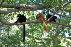 czarny lemura antananarivo eulemur endemiczny Madagaskaru macaco podatny zoo Obraz Stock