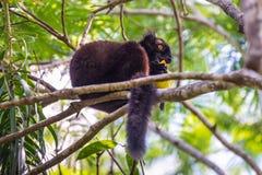 Czarny lemura łasowania mango Obraz Royalty Free