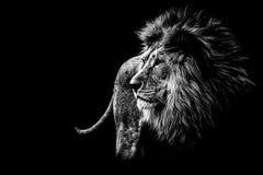 czarny lew white Obrazy Royalty Free