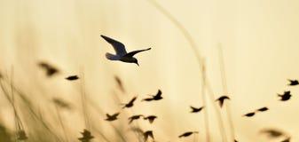 czarny lotu pozycja mewa Fotografia Royalty Free