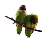 czarny Lovebird Zdjęcia Stock
