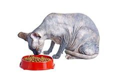 Czarny lub błękitny kanadyjski sphynx kot je suchego kota jedzenie z zielonymi oczami Obrazy Stock