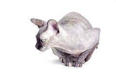 Czarny lub błękitny kanadyjski sphynx kot z zielonymi oczami Obrazy Stock