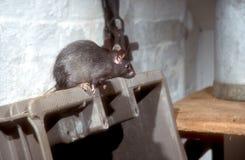 Czarny lub statek szczur, Rattus rattus Zdjęcia Stock