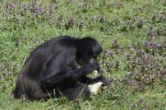 Czarny małpi łasowanie banan w zoo Zdjęcia Stock