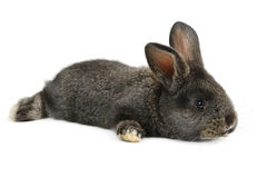 Czarny mały królik Obrazy Stock