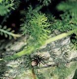 Czarny mały pająk na kamieniu zdjęcie stock