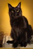Czarny Maine coon kot na żółtym tle obrazy stock