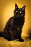 Czarny Maine coon kot na żółtym tle fotografia stock