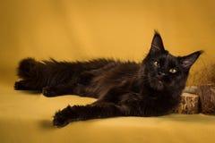 Czarny Maine coon kot na żółtym tle obraz royalty free