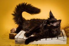 Czarny Maine coon kot na żółtym tle zdjęcia stock