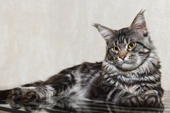 Czarny Maine coon kot pozuje na szkło stole Obraz Stock