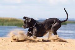 Czarny mastif zdjęcie stock
