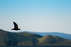 czarny mewa lotu Zdjęcia Stock