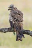 Czarny Milano (Milvus migrans) Obrazy Royalty Free