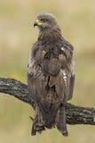 Czarny Milano (Milvus migrans) Fotografia Royalty Free