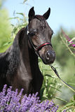 Czarny miniaturowy koń za purpurowymi kwiatami Zdjęcia Royalty Free