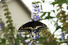 Czarny Monarchiczny motyl Zdjęcia Stock