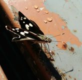 czarny motyl Fotografia Stock