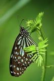 Czarny motyl Obraz Royalty Free