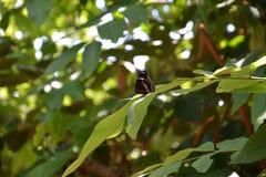 czarny motyl Zdjęcie Royalty Free