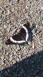 czarny motyl Zdjęcia Royalty Free