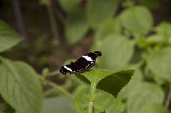 czarny motyl Obrazy Stock