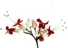 czarny motyl kwitnie czerwień Zdjęcia Stock