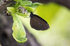 Czarny motyl na liściu Fotografia Royalty Free