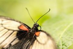 Czarny motyl z koloru żółtego i czerwieni skrzydłami Zdjęcia Royalty Free
