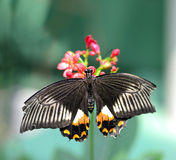Czarny motyl z pomarańczowymi i białymi ocechowaniami obraz stock