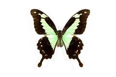 czarny motyla zieleni odosobneni papilio phorcas obrazy royalty free