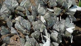czarny motyle fladrowali biel zbiory wideo