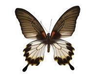 czarny motyli tropikalny biel Zdjęcie Royalty Free
