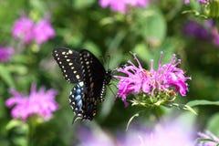 czarny motyli wschodni swallowtail Zdjęcia Royalty Free