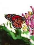 czarny motylia czerwień Obraz Royalty Free