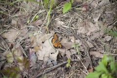 czarny motylia pomarańcze Obrazy Stock