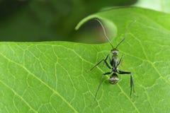 Czarny mrówka Fotografia Royalty Free