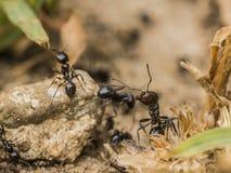 Czarny mrówki główkowanie obrazy stock