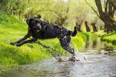 Czarny mutt psa doskakiwanie przez strumienia Zdjęcie Stock