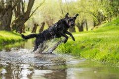 Czarny mutt psa doskakiwanie przez strumienia Obrazy Stock