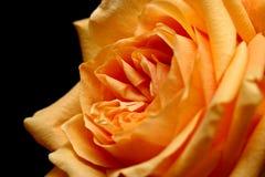 czarny nad brzoskwinką rose Zdjęcie Stock