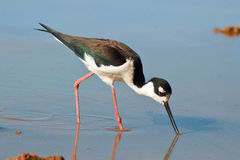 Czarny Necked Stilt Fotografia Stock